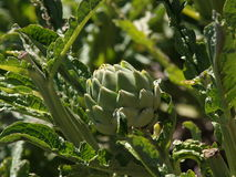 Artichoke flower on plant Stock Photo