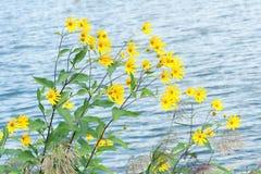 Artichoke flowers Stock Photos