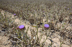 Artichoke flowers on the ground Royalty Free Stock Photo