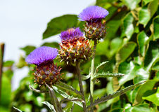 Artichoke flowers Royalty Free Stock Photos