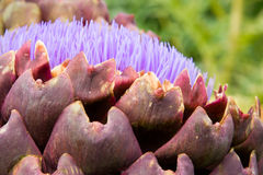 Artichoke in the garden close-up. Organic Artichokes with blossome In The Garden close-up Stock Photo