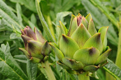 Artichoke Growing on Stalk Royalty Free Stock Photos
