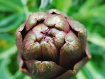 Artichoke. Natural artichoke in the nature Royalty Free Stock Image