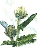 Artichoke plant botanical drawing watercolor painting illustration  on white background. Artichoke plant botanical drawing watercolor painting illustration Stock Images