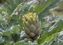 Artichoke plant. On the field Stock Photo