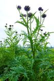 Artichoke plant in field, France. A photograph showing a tall green artichoke plant, scientific name Cynara scolymus, grown in a summer field in south of France Royalty Free Stock Photos
