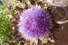 Artichoke plant in full bloom. Macro of violet globe artichoke flower in full bloom royalty free stock image