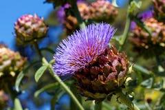 Artichoke purple bloom Royalty Free Stock Images