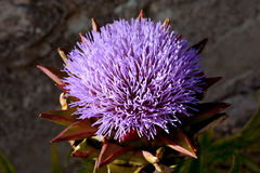 Artichoke purple flower Royalty Free Stock Image