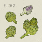 Artichoke set hand drawn botanical isolated and cutaway plant colorful. Sketch vector illustration Stock Image