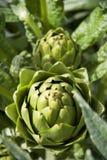 Artichoke. Shallow focus on Salinas Valley artichoke. Vertical Royalty Free Stock Photography