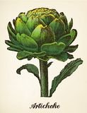 Artichoke vintage illustration vector Stock Photo