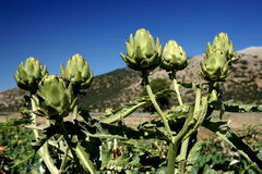 Artichokes. In the Andalusian province of Granada Royalty Free Stock Photos