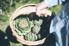 Artichokes Royalty Free Stock Image