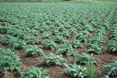Artichokes green sprouts growing on the field. Stock Images