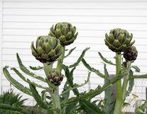 Artichokes Growing In Sun. A bunch of artichokes growing in a garden against a white background on a sunny day royalty free stock images