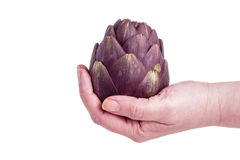 Artichokes. One  Purple artichokes ready for cooking, hold in hand, isolated on White Stock Photos