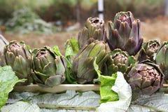 Artichokes vegetable of season farming Emilia Romagna Italy Stock Photography