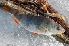 Articles de pêche d'hiver pour le plan rapproché de pêche de brochet Photographie stock libre de droits