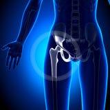 Articolazione dell'anca femminile - ossa di anatomia Immagine Stock Libera da Diritti