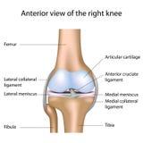 Articulação do joelho humana Foto de Stock Royalty Free