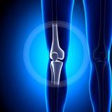 Articulation du genou femelle - os d'anatomie illustration stock