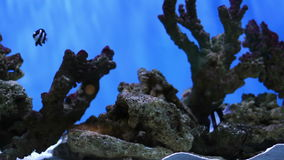 Artificial Aquarium corals and fish. Aquarium fish swim around artificial reef stock footage