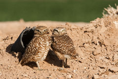Artificial Burrowing Owl Den Stock Photos