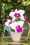 Artificial Cattleya Orchid Flowers Royalty Free Stock Image