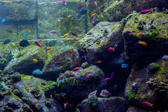 Artificial coral reef surrounded by tropical fishes inside aquarium Stock Photos