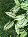 Artificial Dieffenbachia Plants and Grass Textures Background Royalty Free Stock Photos