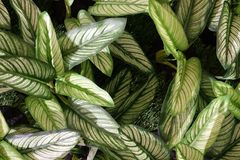 Artificial Dumb Cane Leaves or Dieffenbachia Plants. Background Pattern, Beautiful Artificial Green and White Dieffenbachia or Dumb Cane Plants for Home and Stock Photos