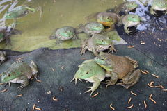 Artificial feeding of Bullfrog stock images