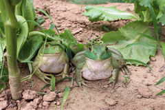 Artificial feeding of Bullfrog. A small farm in Heze city of Shandong province China in captivity bullfrog. The bullfrog is separated by age feeding. They stock photo