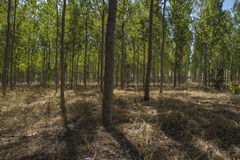 Artificial forest plantation, avenues of trees Toledo, Castilla Stock Photography