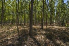 Artificial forest plantation, avenues of trees Toledo, Castilla. La Mancha, Spain,green Stock Photography