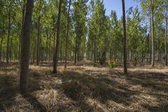 Artificial forest plantation, avenues of trees Toledo, Castilla. La Mancha, Spain,green Stock Photo