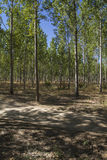 Artificial forest plantation, avenues of trees Toledo, Castilla Stock Photos