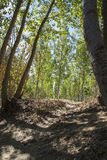 Artificial forest plantation, avenues of trees Toledo, Castilla Royalty Free Stock Photos