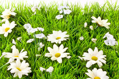 Artificial grass and daisies  Royalty Free Stock Photo