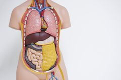 Human body anatomical model in the office stock image