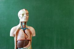 Artificial human body model. Biology class. Anatomy teaching aid. Education concept stock photos