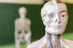 Artificial human body model. Biology class. Anatomy teaching aid. Education concept royalty free stock image