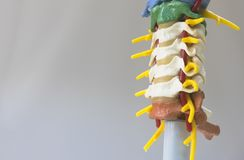 Artificial human cervical spine model. In oblique view Royalty Free Stock Photo