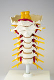 Artificial human cervical spine model Stock Photo