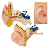 Artificial human ear model isolated on white background. royalty free stock photos