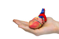 Artificial human heart model on hand Stock Photography