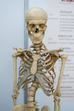 Artificial human skeleton Stock Image