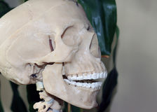 Artificial human skull, a visual aid for biology, medicine. A visual aid for the study of structure of human Stock Photos