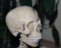 Artificial human skull, a visual aid for biology, medicine. A visual aid for the study of structure of human Stock Photo